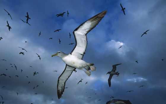 albatros, albatross, птица, птицы, бесплатные, short, tailed, oblaka,