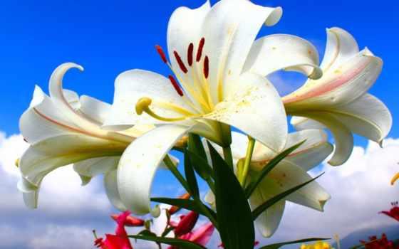 лилии, белые, открытки, поздравительные, красивые, теме, поздравьте,