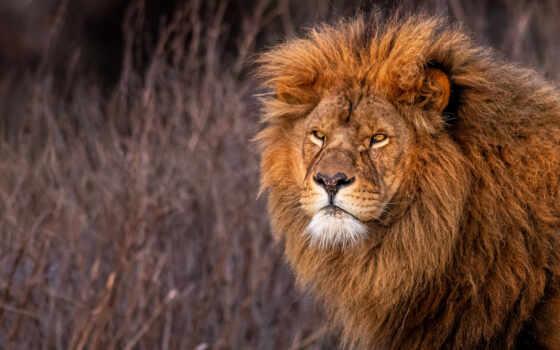 animal, lion, кот, free, zveret, cover, взгляд, see, канал