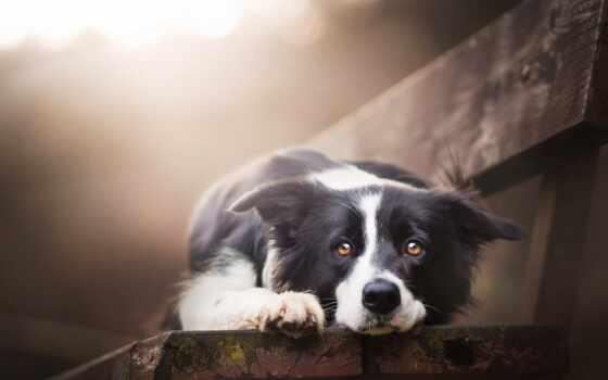 красивый, собака, border, колли, animal, скамейка, see, порода, ложь, sweetheart