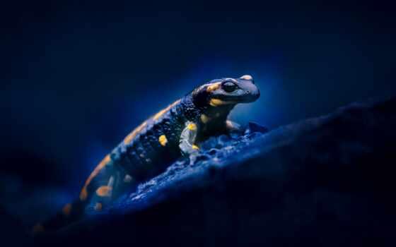 саламандра, огонь, глаз, salamandra