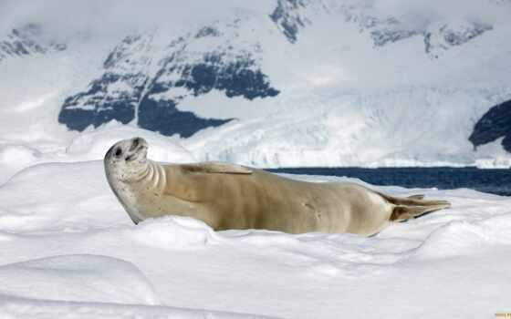 тюлень, природа, crabeat, антарктида, ocean, море, тельца, снег, sunny, день
