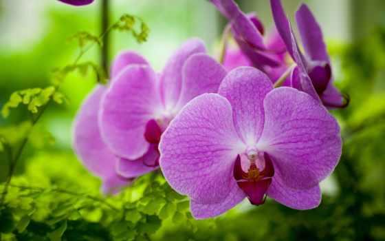 орхидеи, цветы, фиолетовый