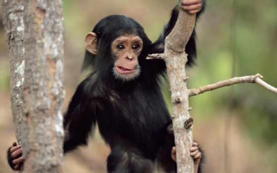 животные, обезьяна, черная