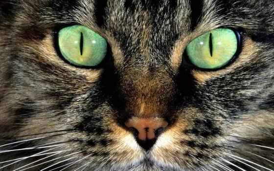 кошачья, морда, кот