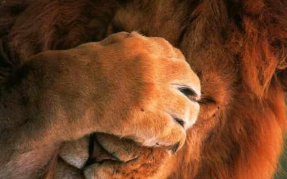 lion, льва, аватар, картинку, лёва, львы, львенок, свет, нас, веди, лапа,