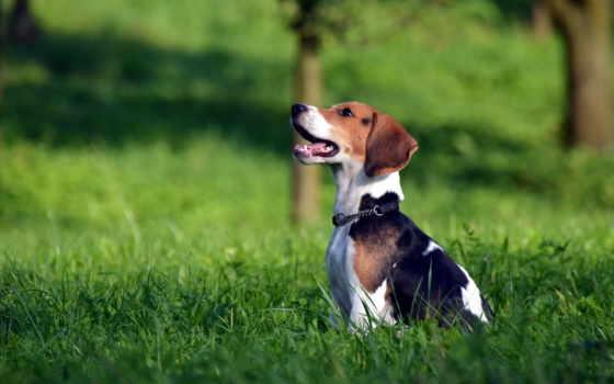 beagle, собака, поле, щенок, трава,