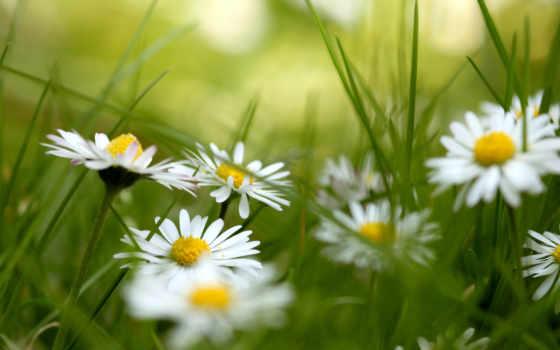 cvety, красивые, макро, ромашка, ромашки, android, new,