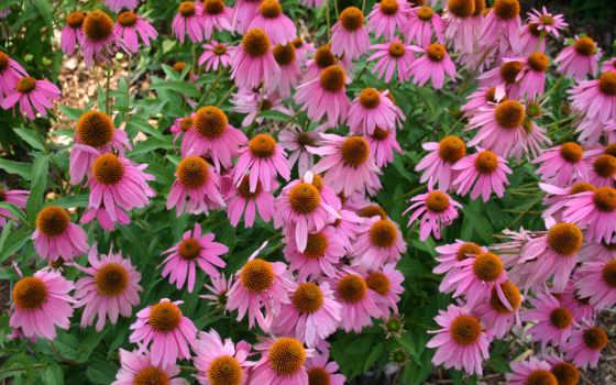эхинацея, dichondra, alycha, растение, purpurea, purple, уход