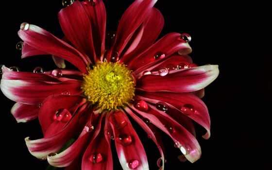 daisy, red, цветы