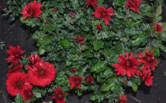 цветы, хризантемы, много