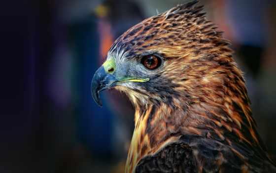 hawk, птица, falcon