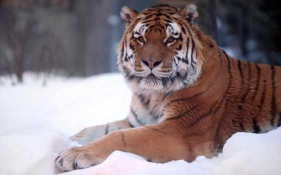 тигр, снегу, снег
