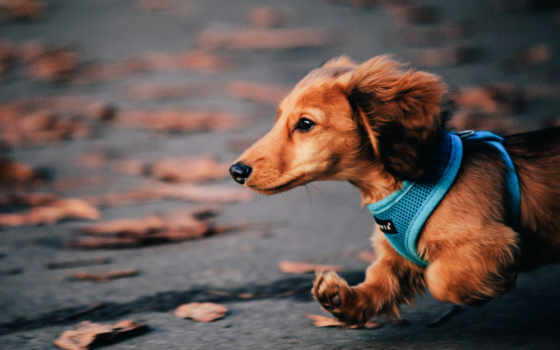 dachshund, собака, осень, run,