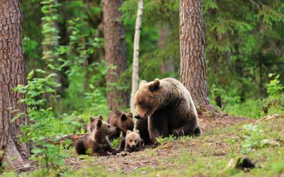 ursa, медвежата, лес, зелёный, медвежатами, trees, медведь,
