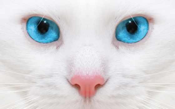 глазами, голубыми, кот