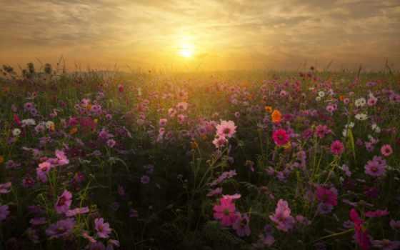 rising, sun, солнца, закат, космея, природа, japanese, закаты, поле, cvety, рассветы,