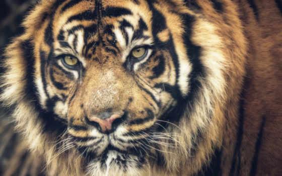тигр, tigris