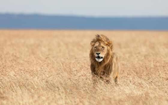 lion, animal, биг, трава, stand