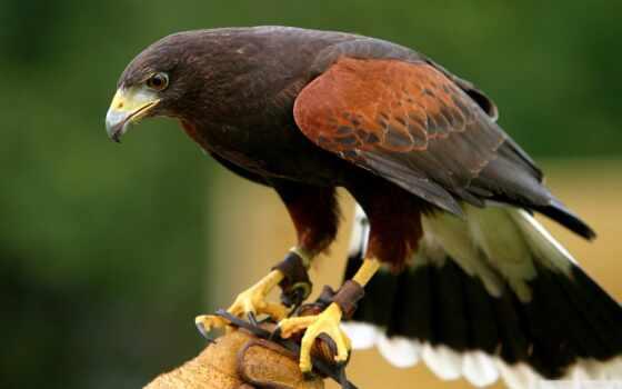 птица, hour, который, перепелятник, hawk, хищный, museum, give, продолжительность, unusual