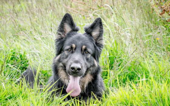 размере, собаки, посмотрет, обою, vzglyad, zhivotnye, истинном, дек, овчарка,