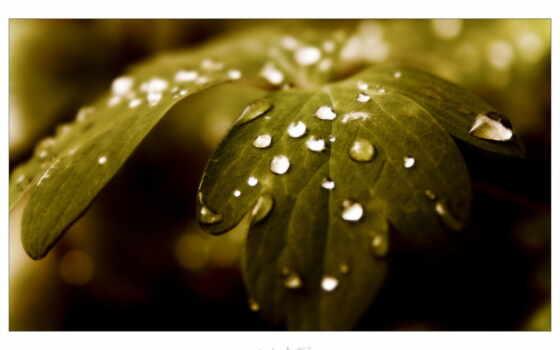 drop, листва, stunt, макро, нефть, маслина