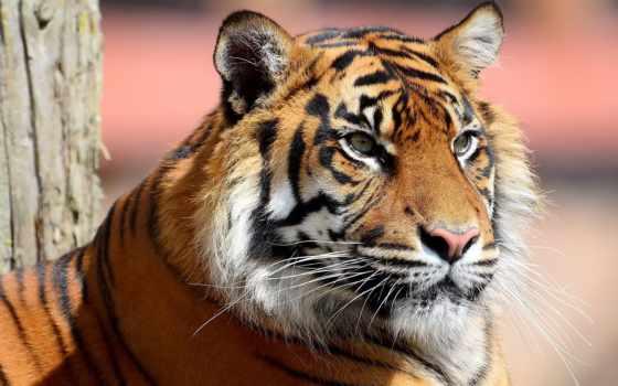 тигр, морда Фон № 19364 разрешение 2560x1600