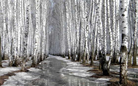 береза, зимой, winter