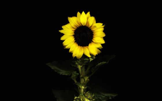 подсолнух, fone, цветы, black, черном, без, nokia,
