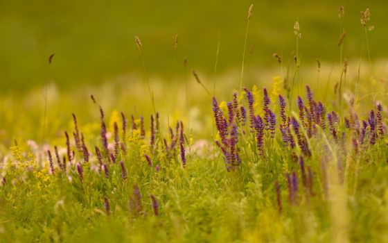 травинки, тег, сиреневые, есть, которых, природа, всех, размытие, полевые, cvety,