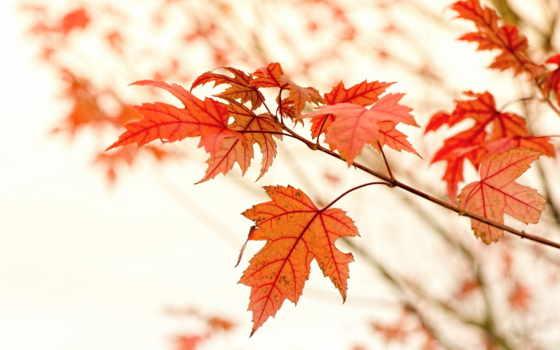 осенние, branch, листва, красные, maple, блики,