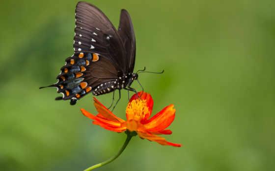бабочка, цветке, цветы, оригинал, изображения, насекомые, коллекция, красивая, сидит, девушка,
