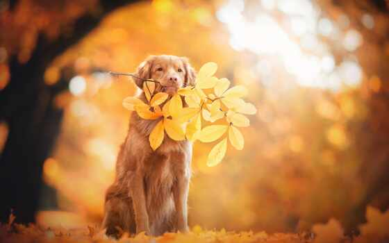 собака, осень, лист