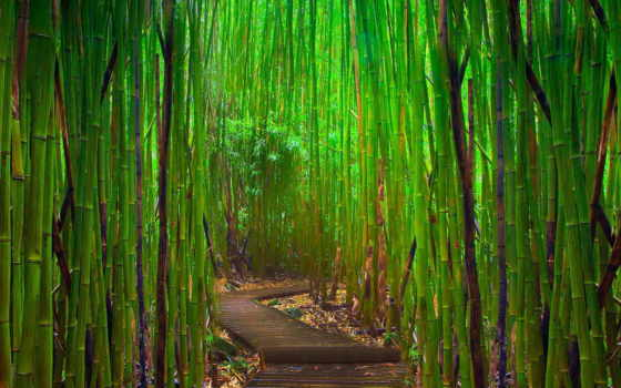 бамбук, browse, тропинка, jungle, grove, зелёный, широкоформатные,