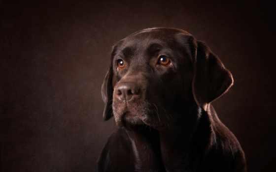 labrador, собака, креатив, peludos, породы, часть, other, качестве, автомобили, высоком,