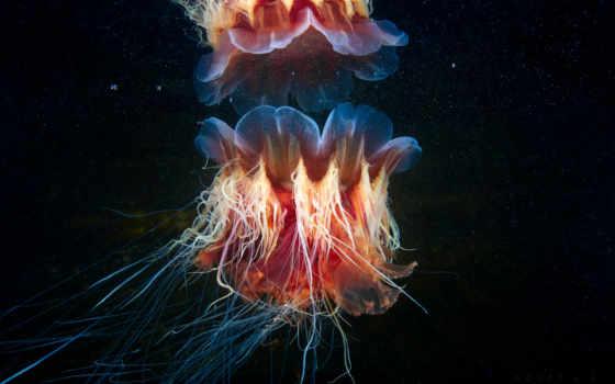 ,Волосистая, цианея, медуза
