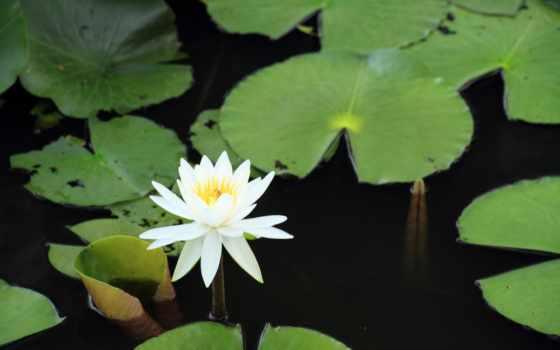 water, lilies, пруд, fenua, телефон, листья, одежда, девочек, mac,