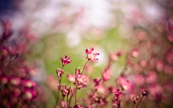 макро, цветы, розовый
