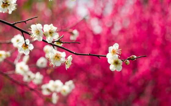 blossoms, flowers, весна, лепестки, white, desktop, фон, full,