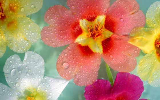 cvety, красивые, макро, роса, капли, природа, цветов, разноцветные, lily, разные, тычинка,
