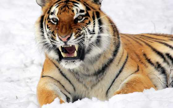 amur, тигр, тигры, тигра, altaica, panthera, tigris, тигров, амурского, уссурийский,