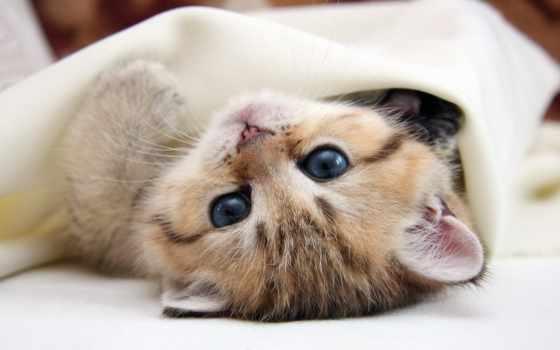 свет, кот, флаги, кошки, котенок, взгляд, голубые, красивые, pussycat,