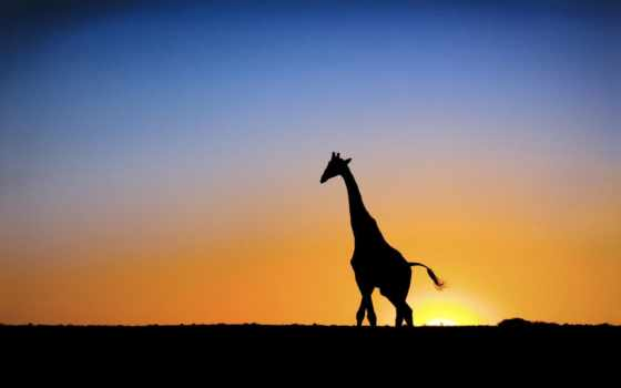 wallpapers, giraffe