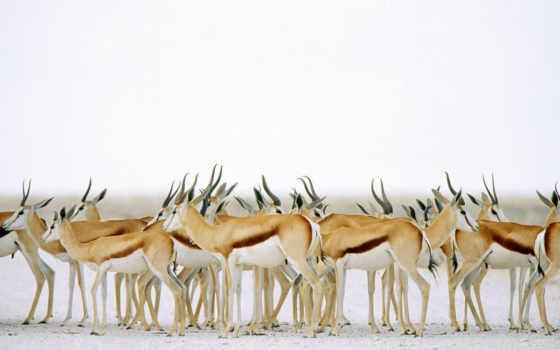 животных, фотографии, herd, springboks, стая, оленей, мы, за, gazella, томсона, отдыхе, представители, отряда, ластоногих, газели, антилопы, etosha, park, national, namibia, resim, потрясающая, планет