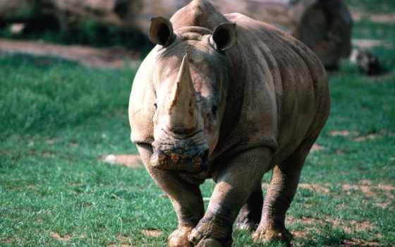 носороги, носорог, rhino, род,