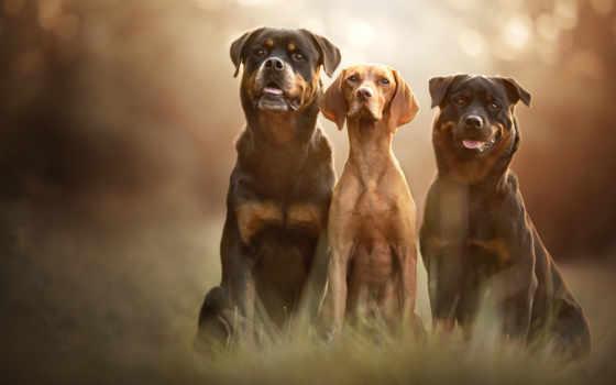 собака, dogs, щенок, картинка, pets, роза, curly, пудель, toy,