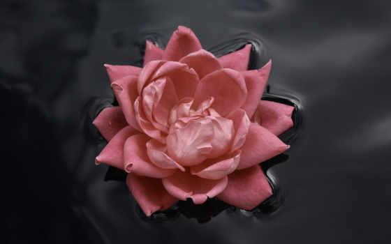flowers, роза