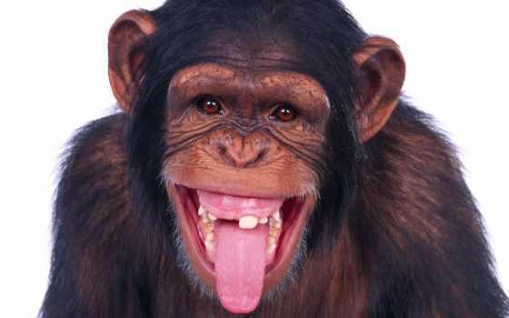 обезьяна, язык, показывает