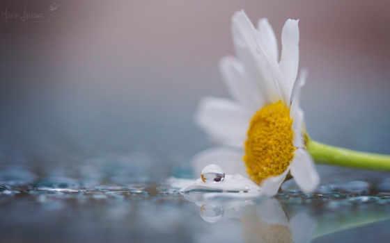 цветы, ромашка, макро, flowers, лепестки, цветочки,