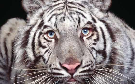 кошки, голубыми, глазами, тигр, дикие, white, zhivotnye, свет, кошек, альбиносы, кот,